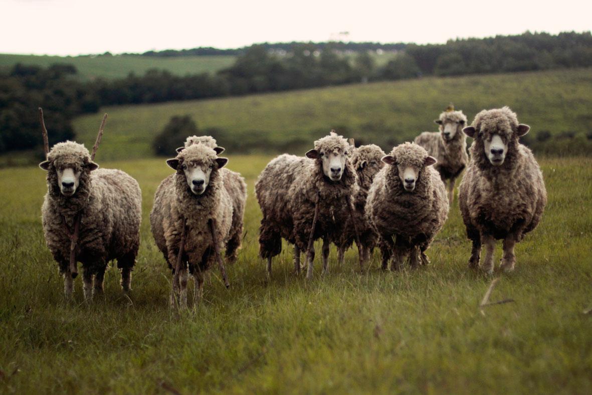 Schafe   unsplash.com