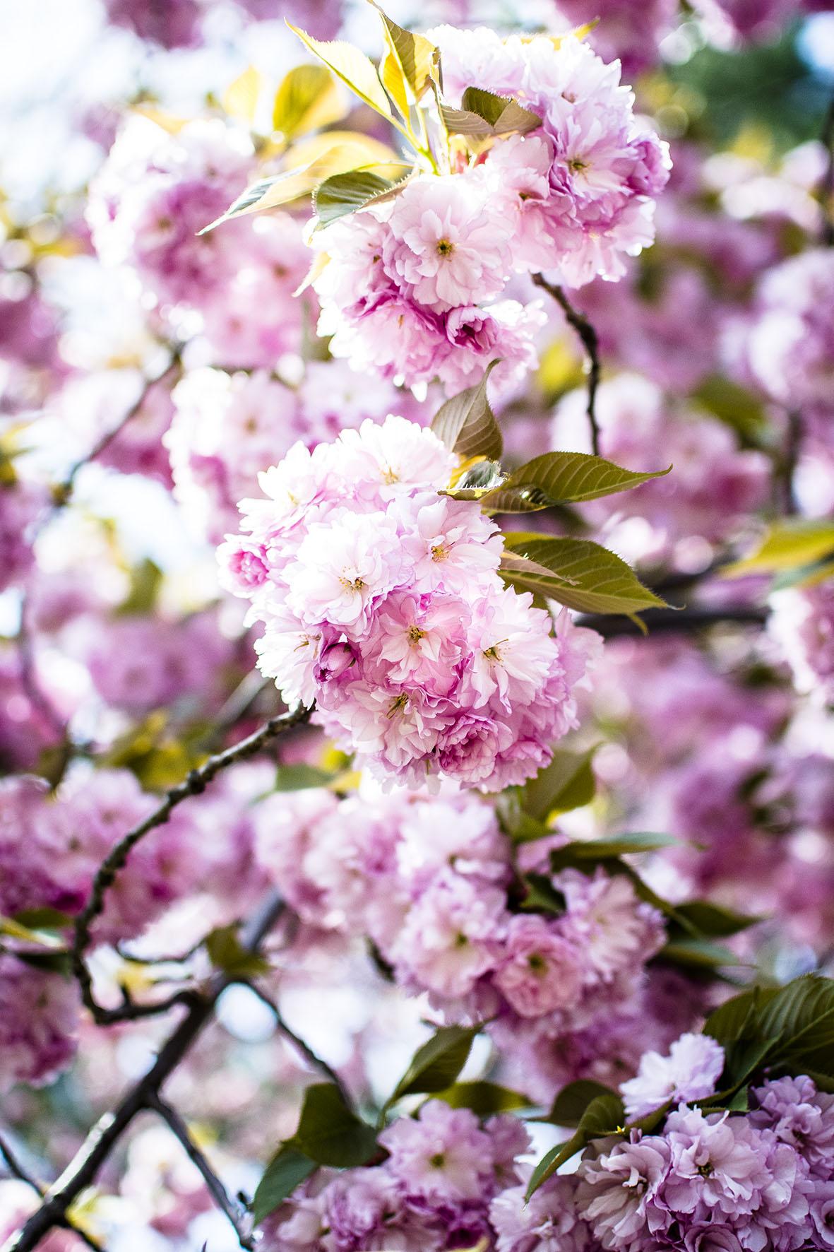 NYC | Kirschblüte | chestnutandsage.de